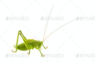 Green grasshopper on a white background