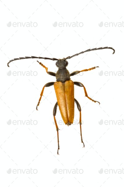 Longhorn beetle (Stictoleptura rubra) on a white background