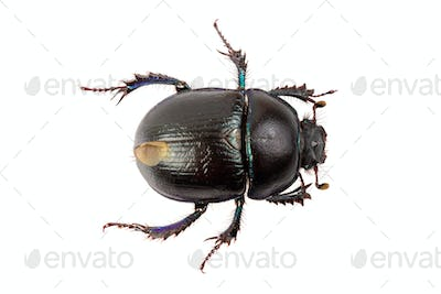 Beetle (Geotrupes stercorarius) on a white background