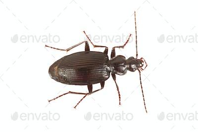 Ground beetle (Limodromus assimilis) on a white background