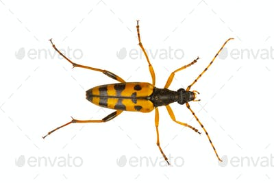 Beetle (Leptura maculata) isolated on a white background
