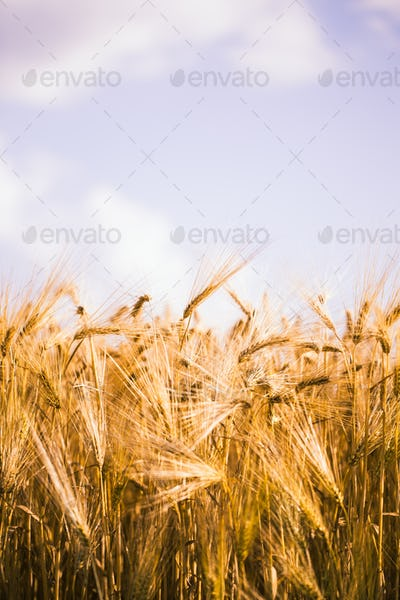Golden barley field and sunny day