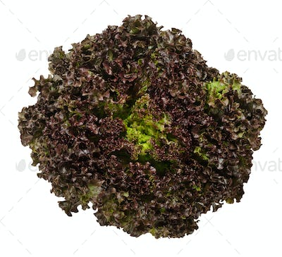 Lollo Rosso lettuce from above over white