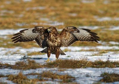 Common buzzard (Buteo buteo) with spread wings