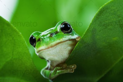 Cute little green frog peeking out from behind the leaves