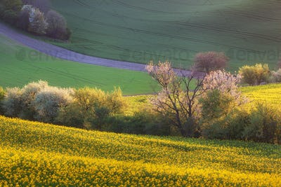 Beautiful yellow rapeseed fields with blooming trees at sunset.
