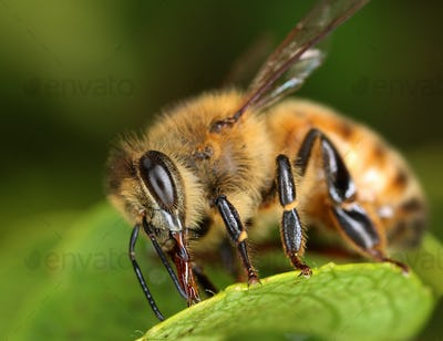 Bee searching sweet macro