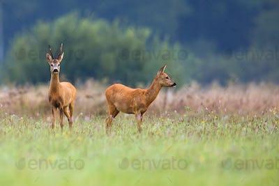 Buck deer with roe-deer in a clearing