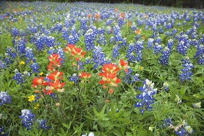 Indian Paintbrush and Texas Bluebonnet Flowers