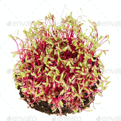 Red beetroot sprouts from above
