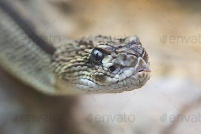 Snake, a portrait
