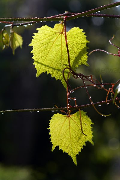 Leaves of grapevine after rain