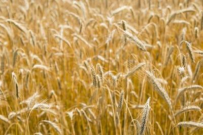 Italian golden wheat cultivation.