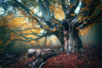 Fairy tree in fog. Old magical tree with big branches and orange