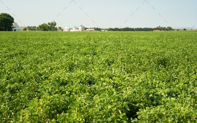 Field of Beans Farm Agriculture Farmer Field Growth