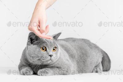 Human hand petting cat's head. British Shorthair