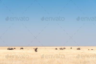 Herd of blue wildebeest, also called brindled gnu, between grass