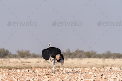 Male Ostrich, Struthio camelus, looking back