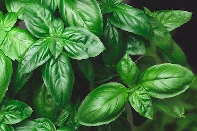 Growing Genovese basil background