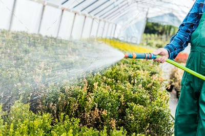 Gardener watering plants using a hose in a greenhouse.