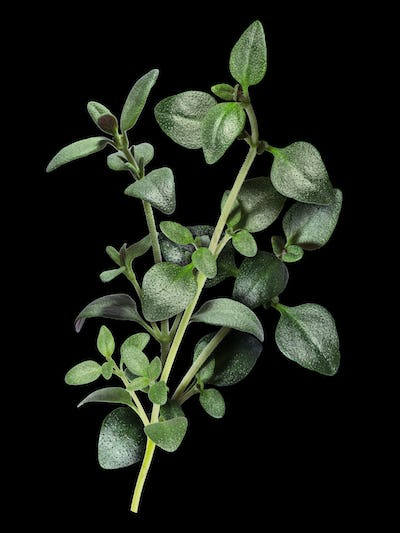 Thyme with clipping paths