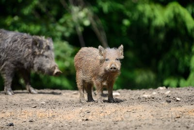 Young wild boar
