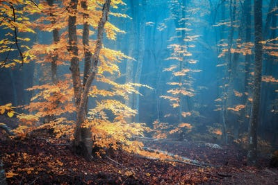 Autumn foggy forest. Mystical autumn forest in blue fog