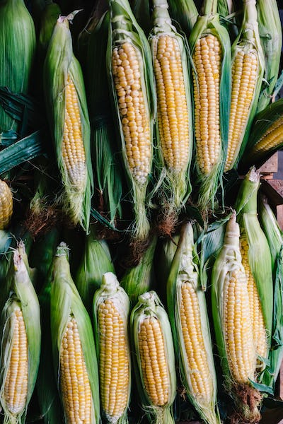 Corns on cobs in stack
