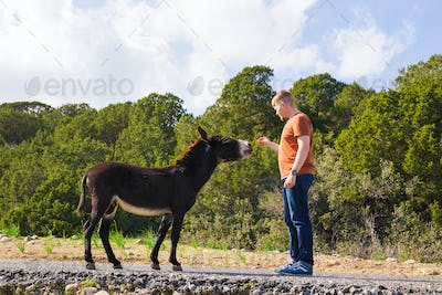 man caressing and feed a wild donkey
