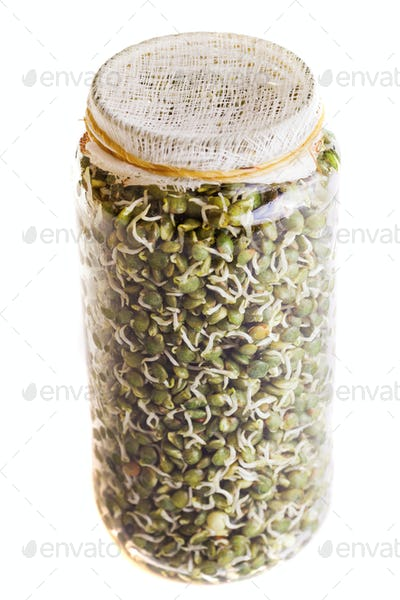 Top View of Sprouting Lentils Growing in a Jar