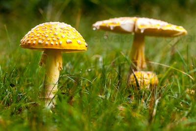 Poisonous Yellow Mushroom in Nature