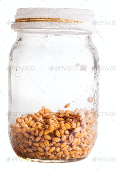 Wet Sprouting Weat Seeds in a Glass Jar
