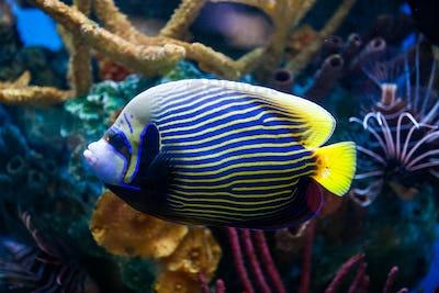 Imperial Anglefish Closeup in Saltwater Aquarium