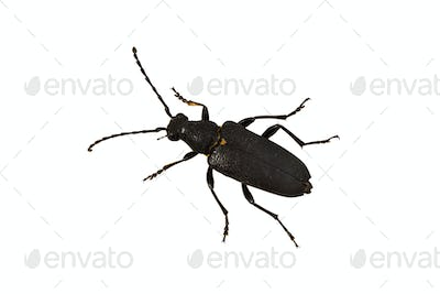 Longhorn beetle (Stictoleptura scutellata) on a white background
