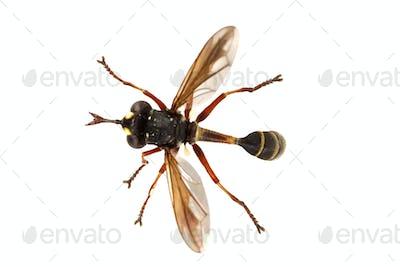 Fly (Physocephala rufipes) on a white background