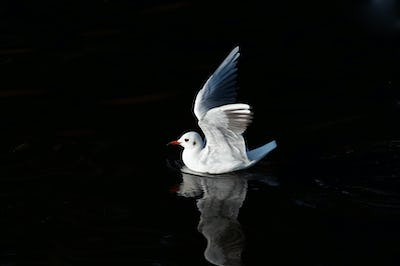 Gull on the water