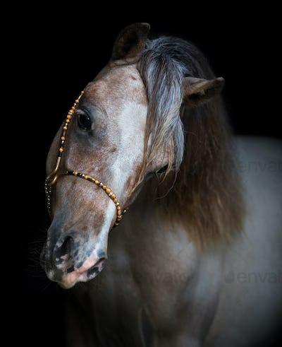 Portrait on black backgound of American Miniature Horse.
