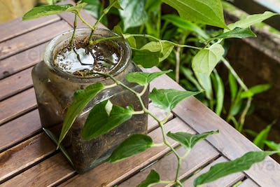 Potted vase stores stagnant water and breeding ground for mosqui