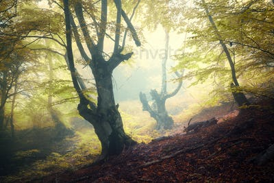 Mystical autumn forest in fog in the morning
