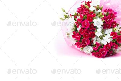 Carnation (Dianthus chinensis)