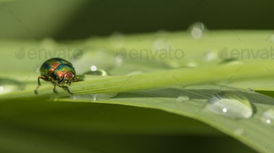 Jewel bug on blades of grass with dew drops.