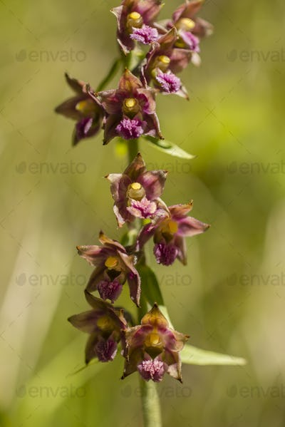 Wild orchid of the Alps mountains