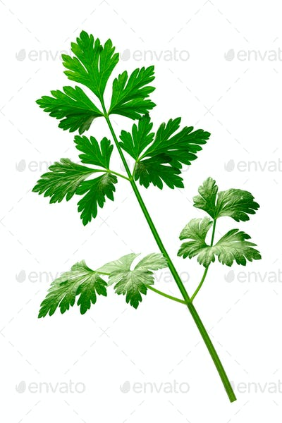 Parsley (Petroselinum crispum), paths