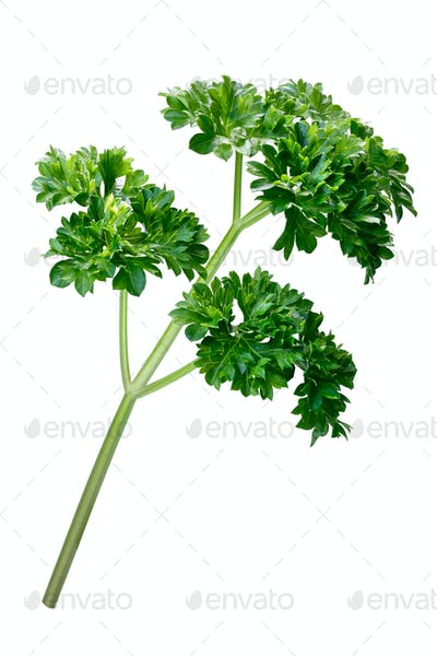 Curly parsley (Petroselinum crispum), paths