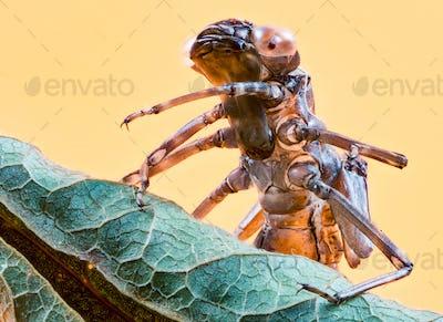Empty skin of a dragonfly larva