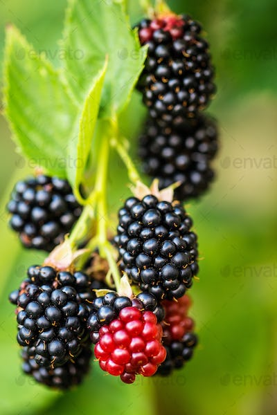 Branch with ripe blackberry.