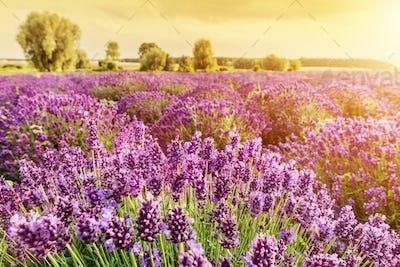 vender flower field landscape at sunset