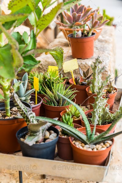 Succulents and cactus blooming flowers
