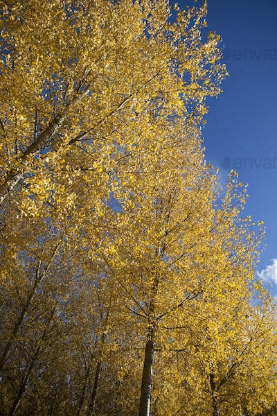 Golden leaves of trees