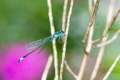 Bluetail damselfly on a twig
